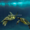 Hawaiian Green Sea Turtle Friends