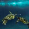 Hawaiian Green Sea Turtle Friends