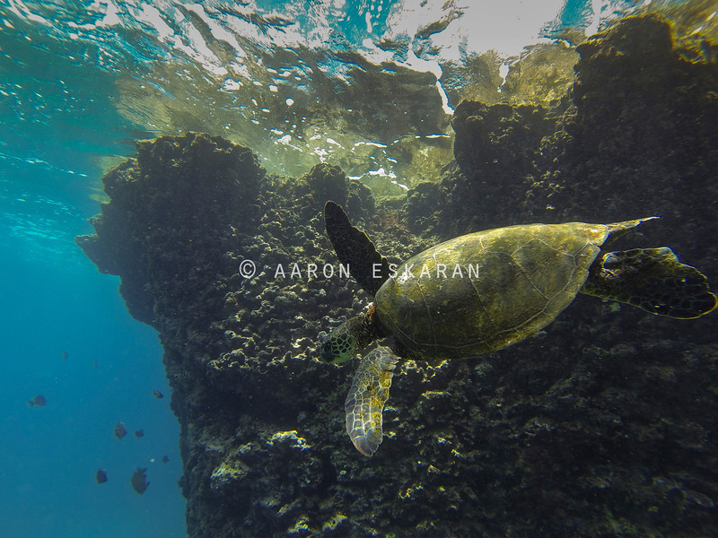 Hawaiian Green Sea Turtle With Hawaiian Reef