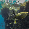 Hawaiian Green Sea Turtle With Hawaiian Reef