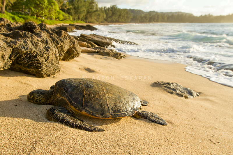 Green Sea Turtle on beach