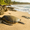 Green Sea Turtle on beach