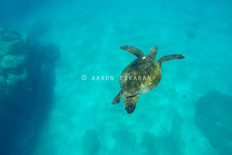 Hawaiian Green Sea Turtle against sandy ocean floor