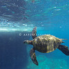 Hawaiian Green Sea Turtle at Surface