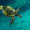 Hawaiian Green Sea Turtle Water Wings