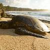 Green Sea Turtle basking in the setting Sun