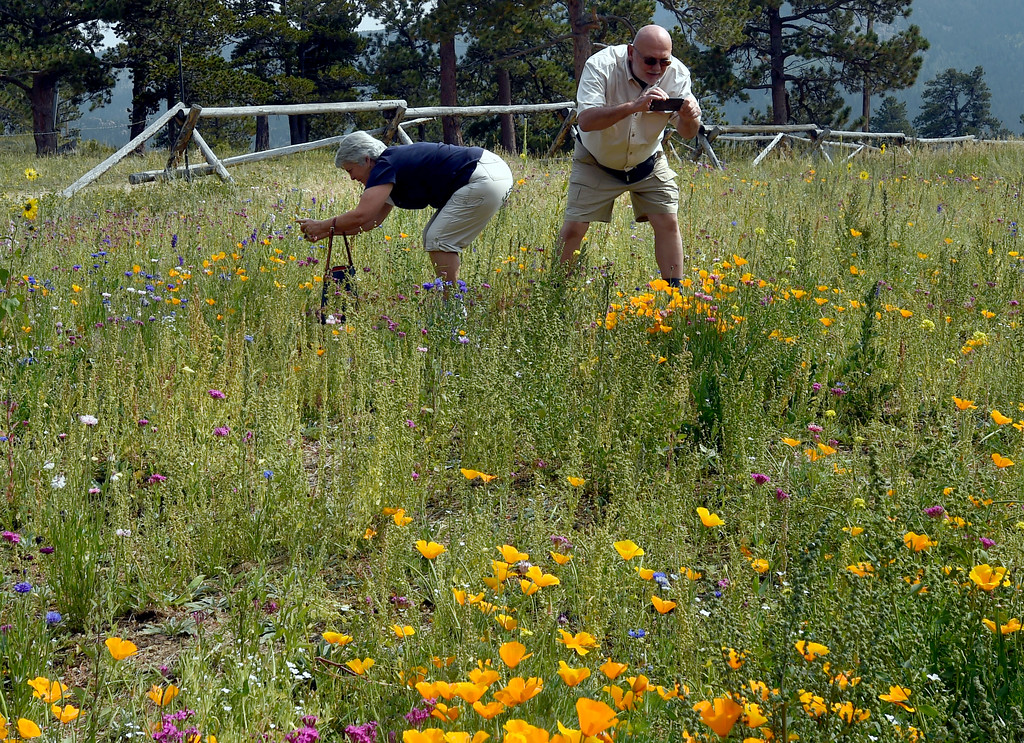 . Sharon and Steve Panik, of Ft. Collins, photograph wild flowers outside the Old Gallery. The Old Gallery in Allenspark is in danger of shutting down. They have access to a matching grant, but they have to raise like $350K. For more photos and a video, go to dailycamera.com.  Cliff Grassmick  Staff Photographer September 7, 2017
