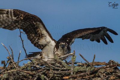 The Osprey (Pandion Haliaetus), sometimes known as the sea hawk, fish eagle, river hawk or fish hawk, is a diurnal, fish-eating bird of prey. Photography By: Lloyd Kenney III ©2014 The Cajun - All Rights Reserved. Contact Info: LloydKenneyiii@gmail.com