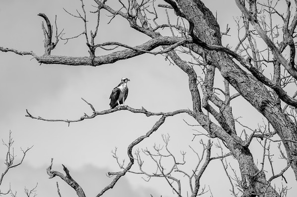 Osprey on branch in black and white