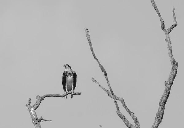 Osprey in black and white