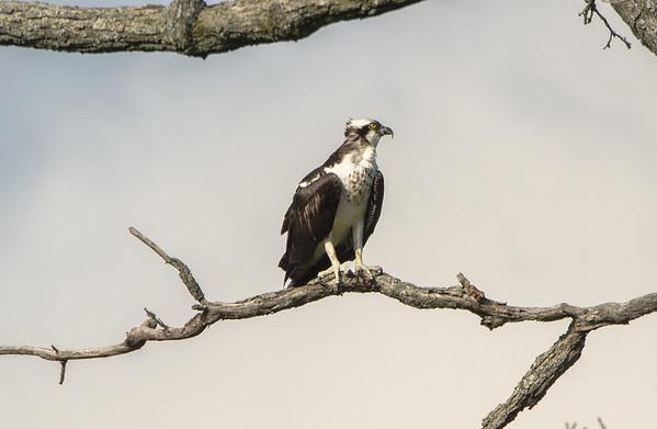 Thoughtful Osprey