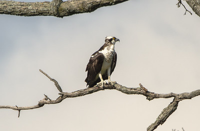 Thoughtful Osprey