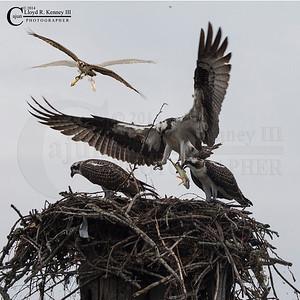 The Osprey's Nest 2014