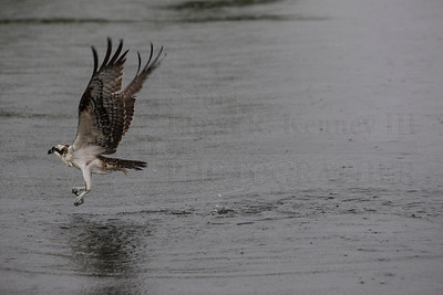 The Ospreys on a Rainy Day!! Photography By: Lloyd R. Kenney III © 2014 All Rights Reserved. Contact Info: LloydKenneyiii@gmail.com