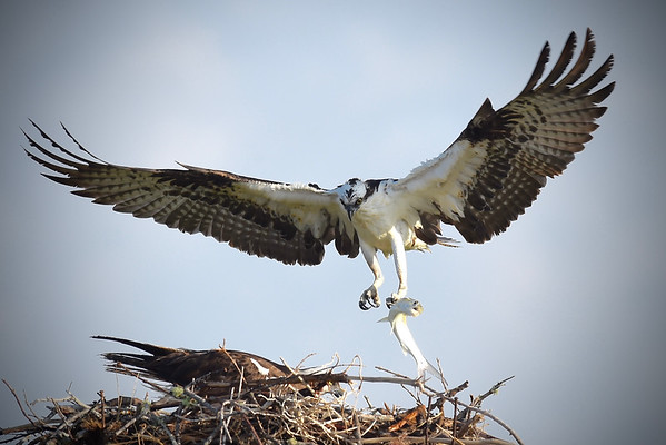 The Ospreys at Tigertail Beach