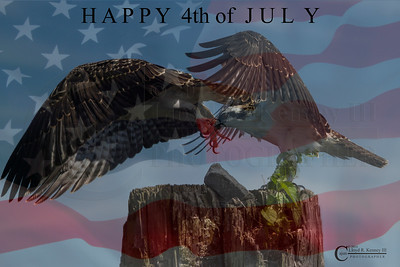 Happy 4th of July!! - The Osprey Nest on The 4th of July 2014