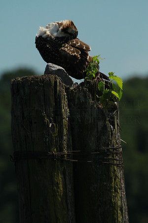 The Osprey Nest on The 4th of July 2014