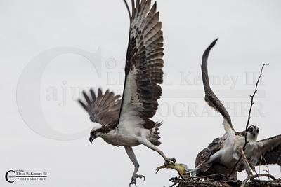 The Ospreys on a Rainy Day!!