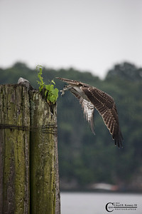 The Ospreys on a Rainy Day