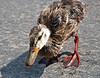 Tyranosourus Duckling