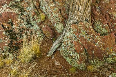 Juniper and lichen detail, Oregon.