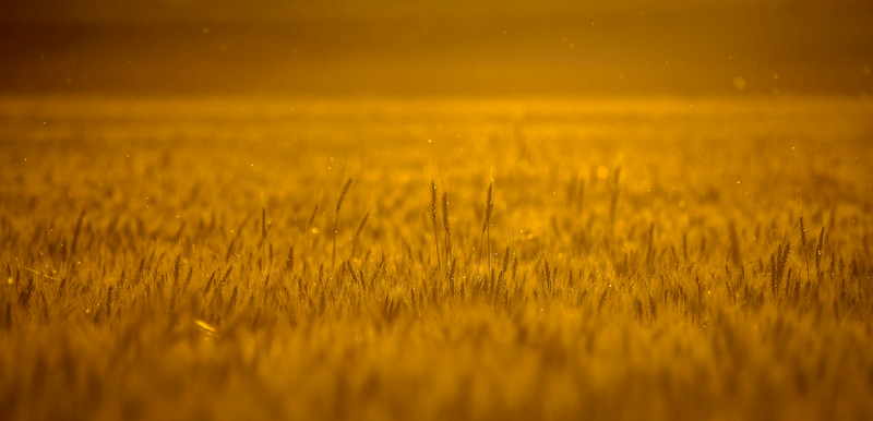 Palouse Wheat Field