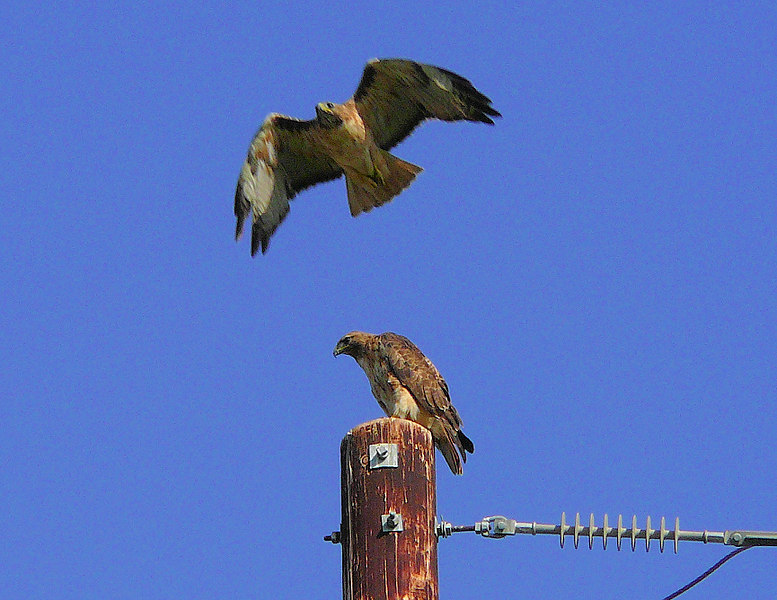 Willie making a flyover as Mina watches from the telephone pole -- the Kaiser Hospital Red-tails, Harbor City, CA, July 3 2006.