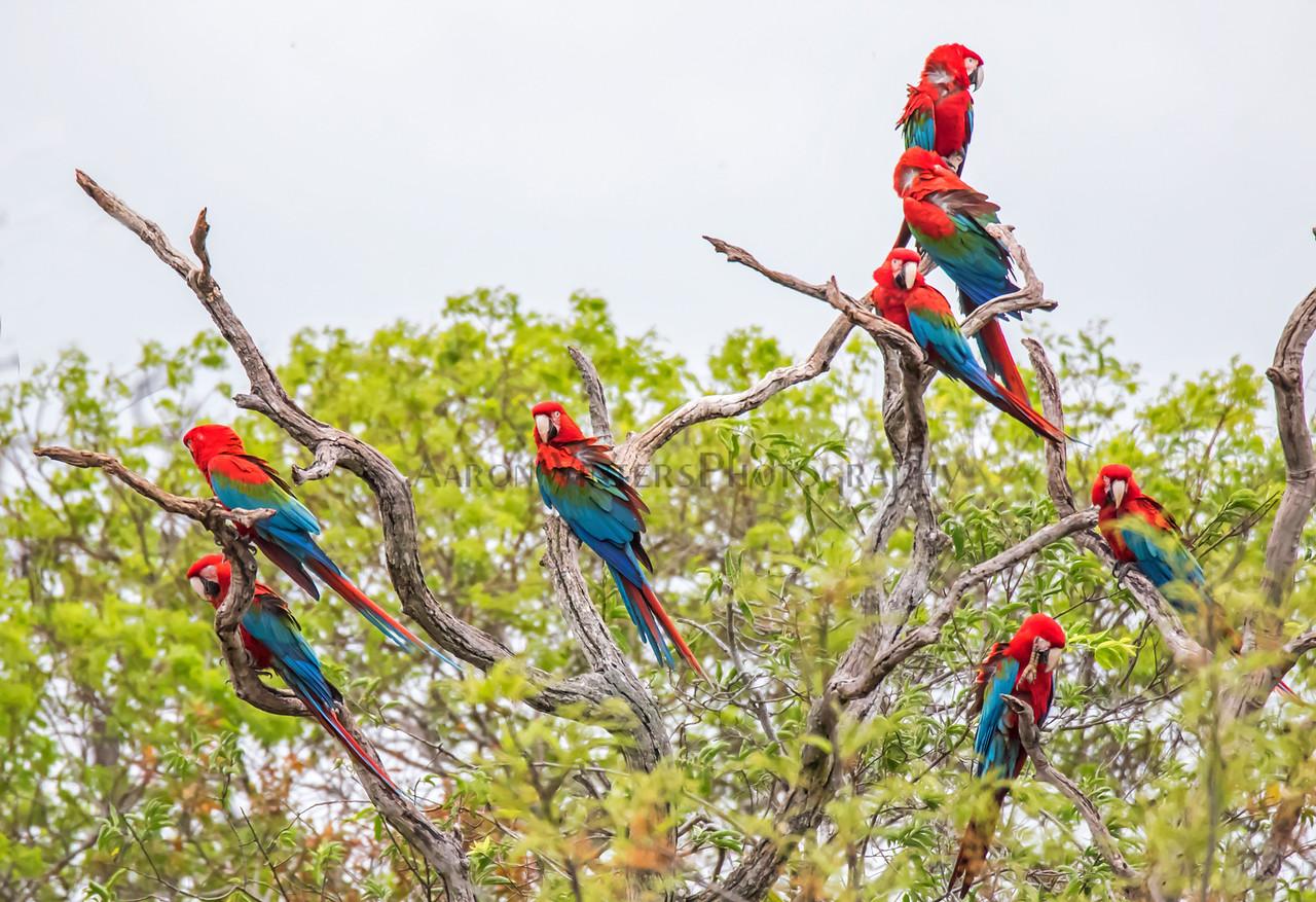 The Macawful Tree
