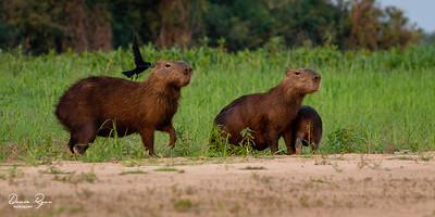 Capybaran Family