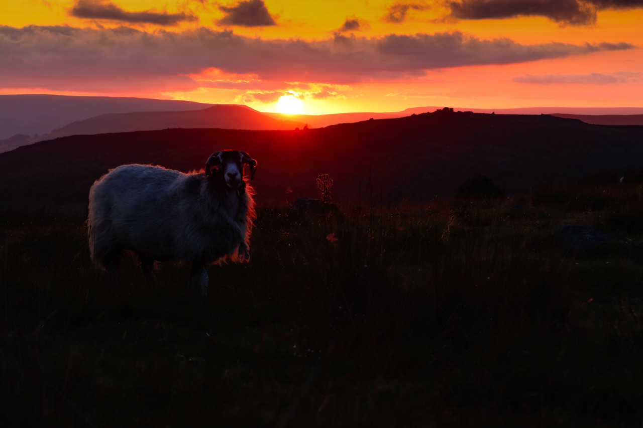 Sheep Silhouetted against a glorious sunset near the Longshaw Estate