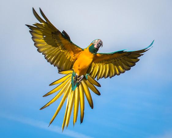 Macaw in Disney