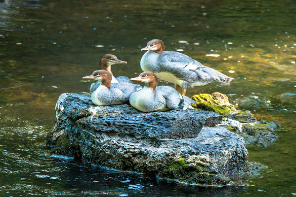 Female Common Mergansers