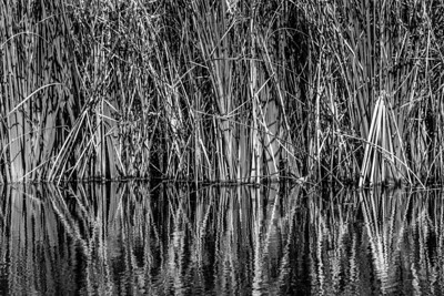 Reeds in Water.