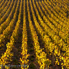Herfstlandschap; 2018; Champagne-Ardennes; France; Vines; autumn colors; couleurs automnales; herfstkleuren