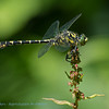 Kleine tanglibel; Onychogomphus forcipatus; Kleine Zangenlibelle; Gomphe à pinces; Small pincertail; Greeneyed hooktailed dragonfly