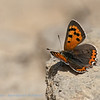 Kleine vuurvlinder; Lycaena phlaeas; Small copper; Common copper; Cuivré commun; Bronzé; Kleiner Feuerfalter
