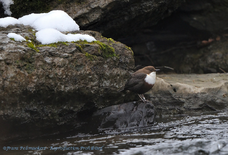 Waterspreeuw; Cinclus cinclus; Whitethroated dipper; Wasseramsel; Cincle plongeur