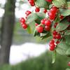 """In a New Light Pioneers: Travis, 13 - """"Streamside Berries"""""""