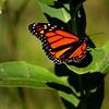 """In a New Light Pioneers: Jordan, 17 - """"Monarch on Milkweed"""""""