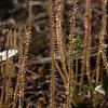 Thread-leaf Sundew