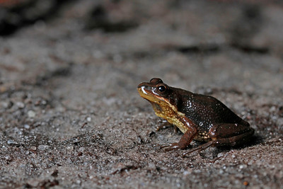 NJ Chorus Frog