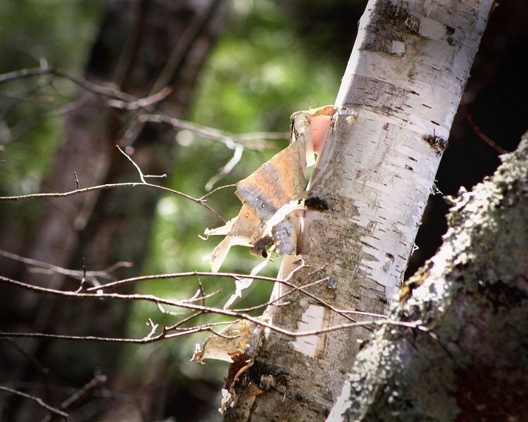 """Birch Bark"" by Craig, 13 