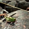 """""""Grasshopper"""" by Lee, 15 