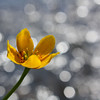 """""""Sparkling Marigold"""" by Craig, 13 