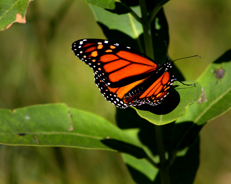 """Monarch on Milkweed"" by Jordan, 17 