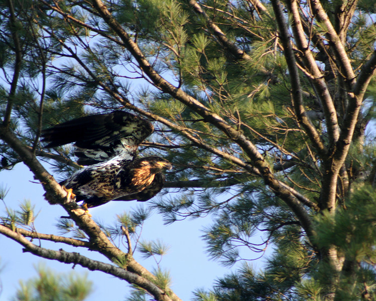 """""""Juvenile Eagle Taking Flight"""" by Cody, 15   The Pioneers"""