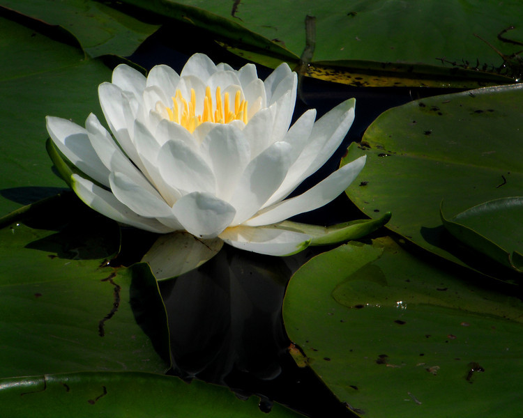"""Water Lily"" by Michael, 17 