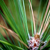 """Pine Needles"" by Jake, 15 