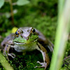 """Inquisitive Frog"" by Derek, 17  |  The Pioneers"
