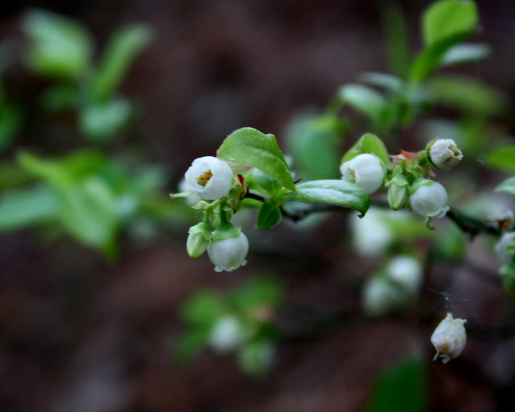 """Budding Blueberries"" by Michael, 17 